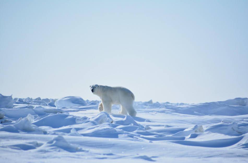 Eisbären fühlen sich hier wohl. (Bild: WWF Russland)